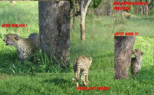 Ein Gepard spielt Versteck