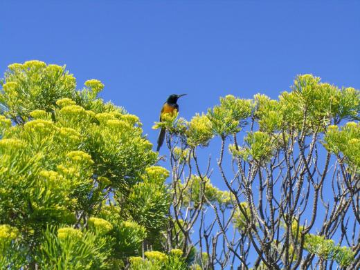 Südafrika Ein Kolibri