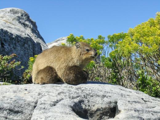 Südafrika Putziger Klippschliefer