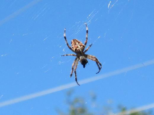 Spinne am Netz