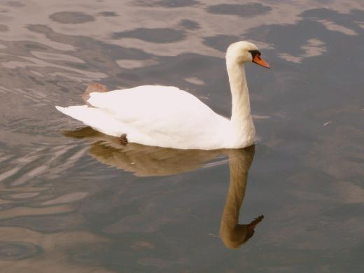 Schwan in See 2