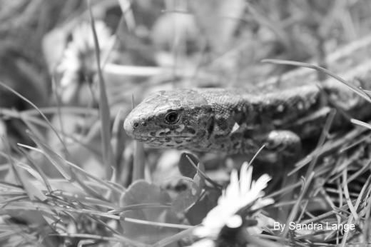 Eidechse Schwarz-Weiß