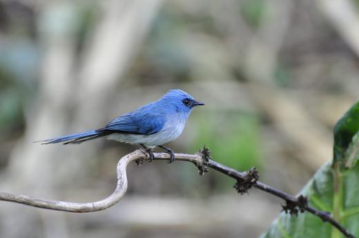 Der blaue Vogel ( in Uganda)