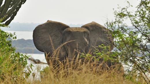 Elefantenvater hält Wache (Uganda)