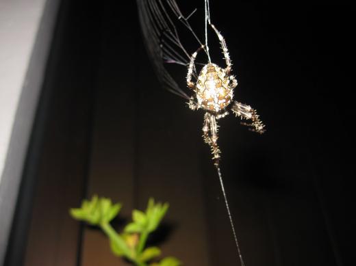 Tarantula bei der Arbeit