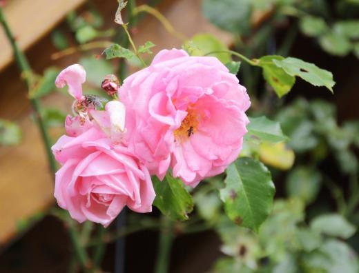 Gäste in der Rosenblüte
