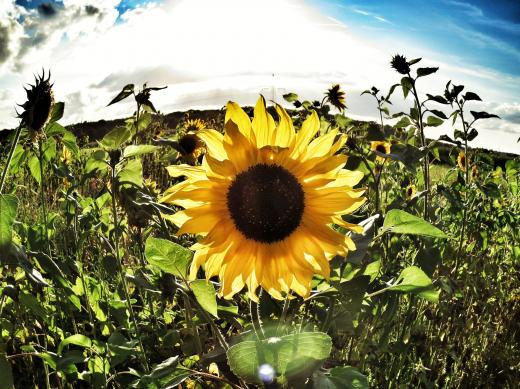 Leuchtende Sonnenblume