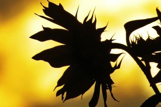 Schattenbild Sonnenblume