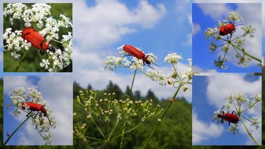 Käfer im NSG Schwarzbachtal