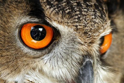 Augen-Blick eines Uhu's