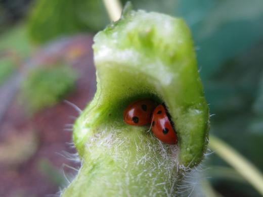 Traumhafter Anblick zweier kuschelnder Marienkäfer
