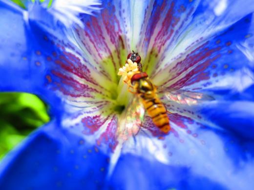 Einblick in die Blüte des Enzians