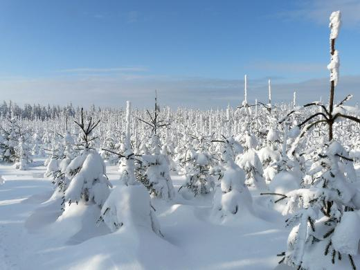 Verschneite Weihnachtsbäume