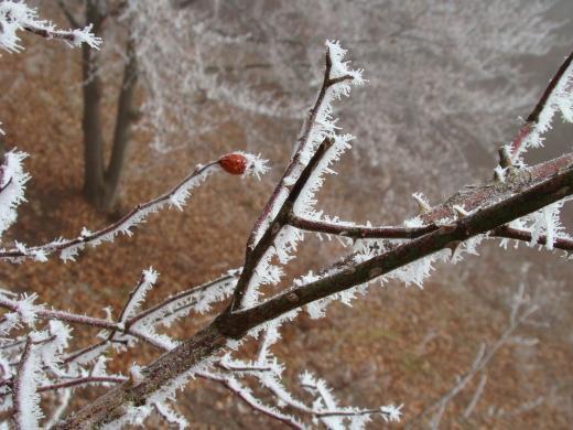 Frosthagebutte