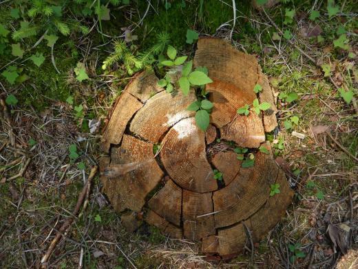 Baumscheibenpuzzle