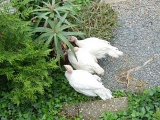 Junge Puten im Garten