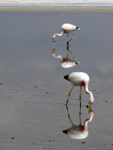 Flamingos in der Atacama Wüste Chile
