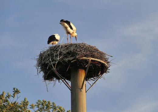 Das Nest bleibt sauber (Reinholdshainer Störche)