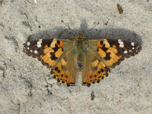 Alle Kinder fingen einen Schmetterling, nur nicht Lotte, die fing eine Motte.