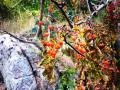 Herbstliche Hagebutte